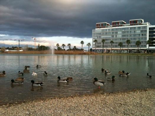 Les canards du Bassin Jacques Coeur, Montpellier (5 janvier 2012)