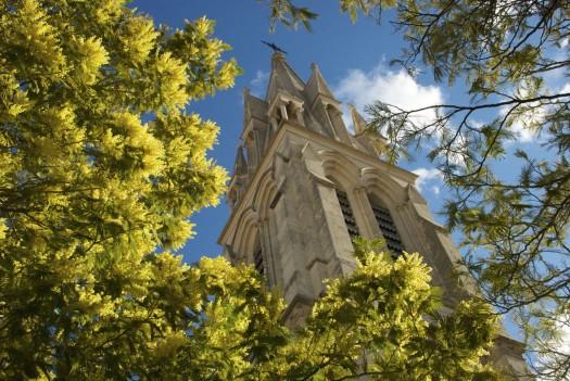 Mimosas en fleurs devant l'Eglise Ste Anne, Montpellier (5 mars 2012)