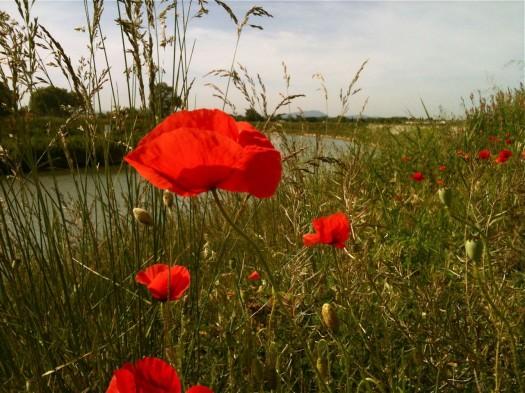 Coquelicot en fleur, Lattes (10 mai 2012)