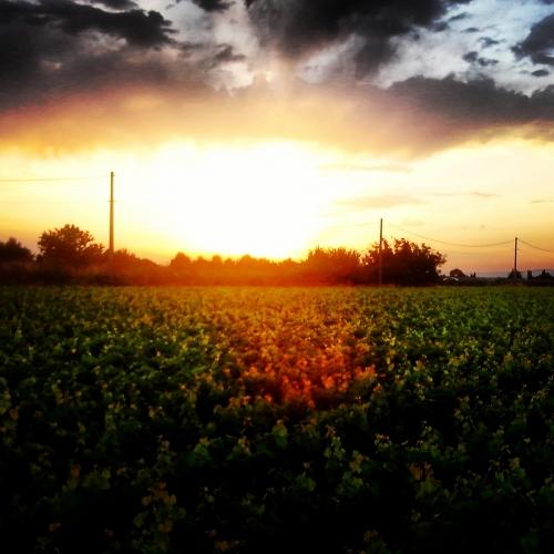 Le soleil se couche sur les vignes (2 août 2013)