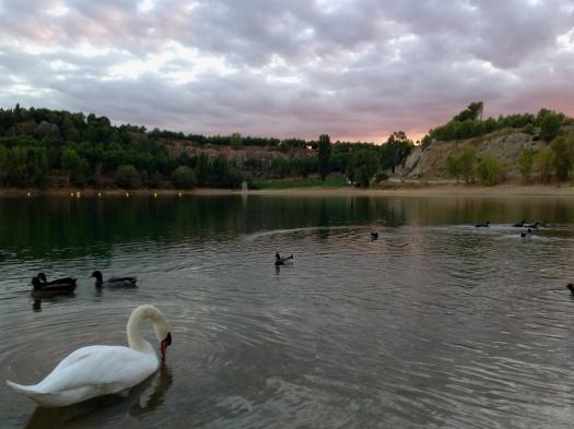 Le cygne, Lac du Crès (7 octobre 2013)