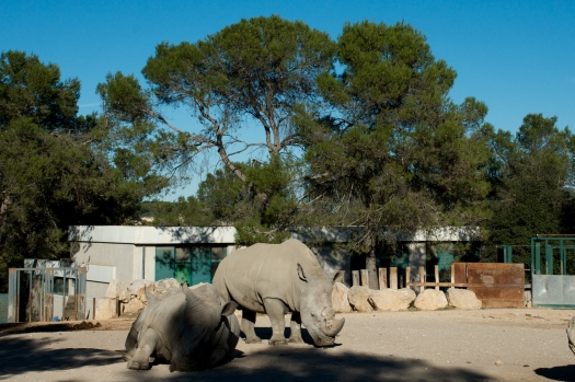 Rhinoceros, Montpellier (11 novembre 2013)