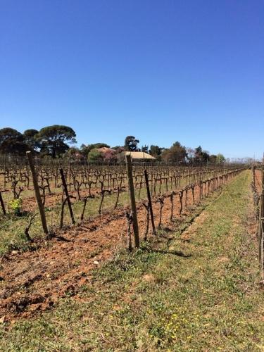 Les vignes de la ZAC des Grisettes, Montpellier (9 avril 2014)